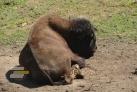 Bizoni v botanické zahradě