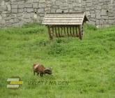 Mufloní výběh
