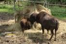 Bizoni v botanické zahradě (mimo trasu)